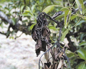 Reeves: Tip to control, avoid uptick in fire blight