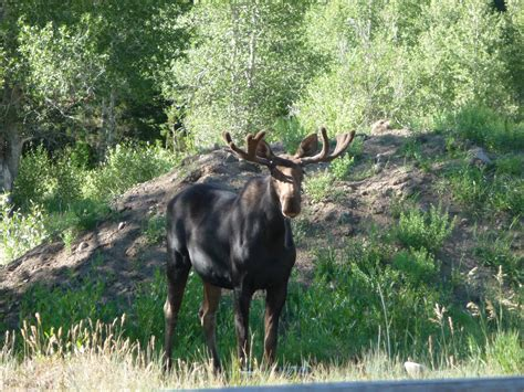 Low Moose Numbers Lead To A Conflict   Wyoming Public Media