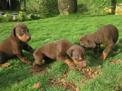 SHOW QUALITY DOBERMAN PUPPIES FOR SALE ADOPTION from