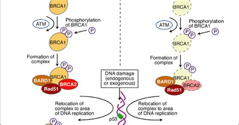Hereditary Breast and Ovarian Cancer | Cancer Biomarkers