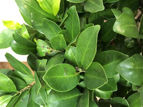 Ask a Question forum: Black dots on Ficus Ginseng's leaves