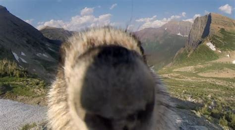 Marmot licks GoPro: Officially the best photobomb in