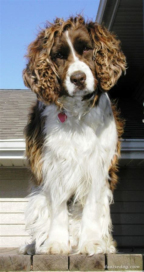 Welsh Springer Spaniel Breed Guide - Learn about the Welsh