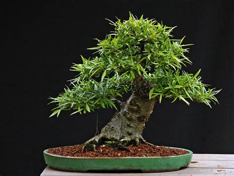 Ficus salicaria Informal Upright 8-18-11 | Another of my